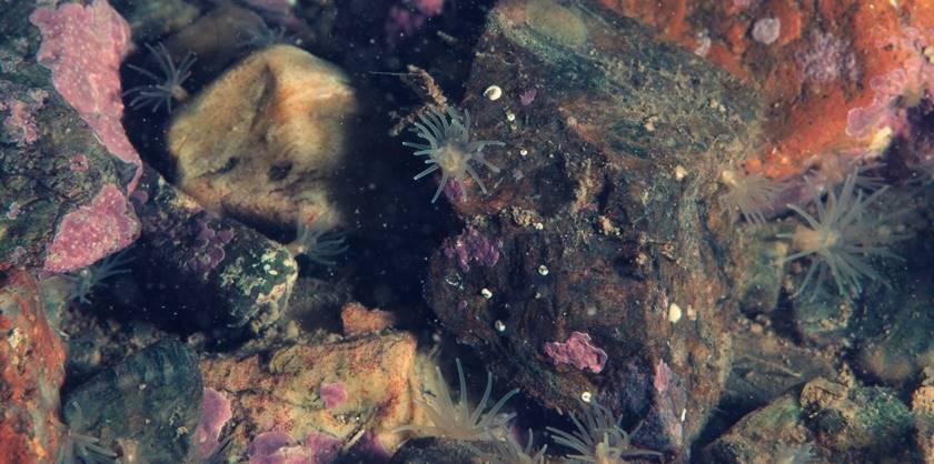 Edwarsiella lineata - Picaduras de animales marinos