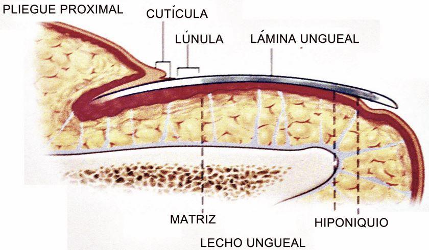 Anatomía de las uñas