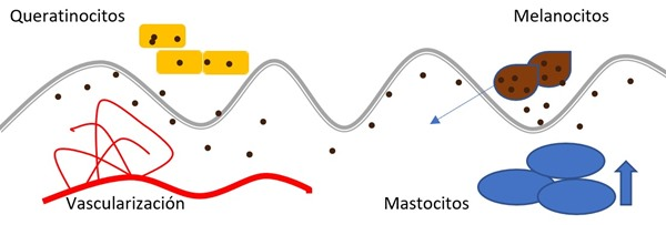 Figura 2: Patogenia del melasma - cloasma. Adaptado de Kwon et al.